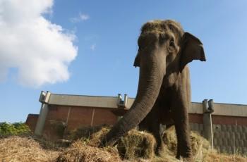 ЧРД за слоница с 38-килограмова торта