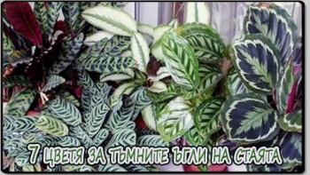 7 цветя за тъмните ъгли на стаята